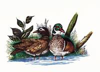 WOOD DUCKS NESTING