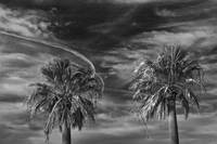 Two Palm Trees in Aransas Pass Texas