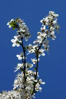 Blooming Cherry plum (Prunus ceracifera).