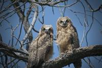 Baby Great Horned Owls, Folsom