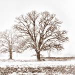 Snowy Trees by James Howe