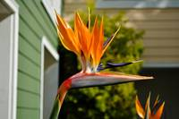 Bird of Paradise Flower at height