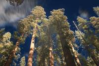 Sequoia Special Effect I