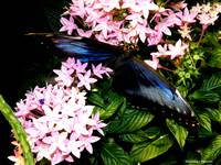 Blue Butterfly Pink Flowers