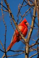 New Year Male Cardinal