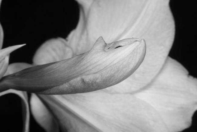 Amaryllis Flower about to Bloom in black and white