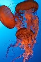 Three Jelly Fish