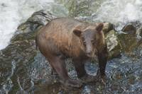 Brown Bear after Swim, Anan Creek