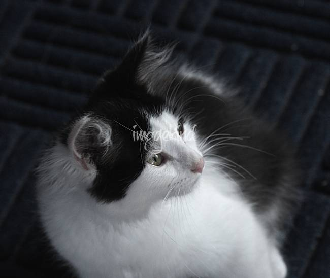 Black and White Kitty 4107
