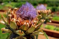 Artichoke bloom