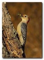 Red Bellied Woodpecker