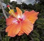 Peach Hibiscus Flower-sq