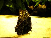 Owl Eye Butterfly