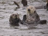 Sea Otter Couple, Elkhorn Slough