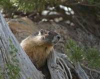 Yellow Bellied Marmot, High Sierra Nevadas