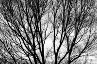 Tree Silhouettes in Black and White