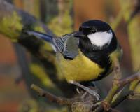Great Tit in the bush