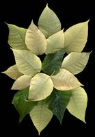 White Poinsettia 2