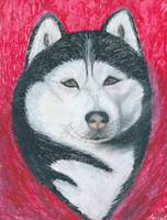 Boris, Siberian Husky Dog Portrait