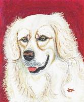Cooper, British Golden Retriever Dog