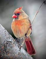 female cardinal in cherry tree