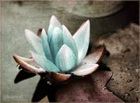 water lily blue