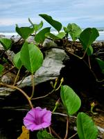 Beach Morning Glory, Matapalo, Costa Rica