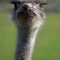 Ostrich What a Face by Laura Mountainspring