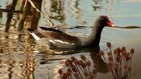 Common Waterhen