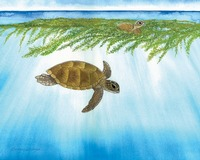 'The Lost Years'  Green Sea Turtle - Sargasso Sea