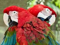 Red, Green, Blue Birds - Twin Macaws