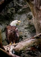 Bald Eagle, Symbol of Freedom, Brown, White, Birds