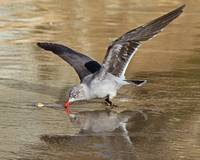 Heermann's Gull Touches Down on Beach