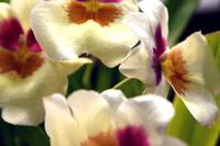 Up Close Pansy Orchid