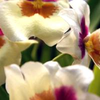 Up Close Pansy Orchid Art Prints & Posters by Faye Sweeney