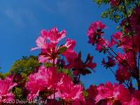 Azaleas greet the blue sky
