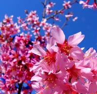 Cherry Blossoms - Blue Sky