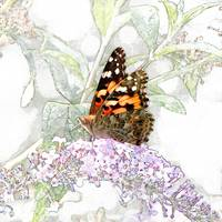 Painted Lady in Wonderland