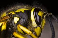 Common wasp close-up