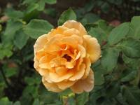 Yellow rose of Thailand