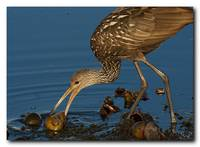 Limpkin and a Apple Snail 2 of 7