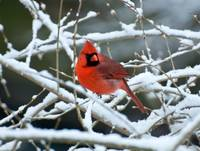 Cardinal on Snowy Branches