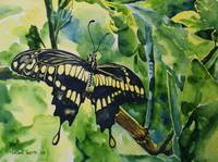 Lime Tree Butterfly I