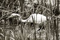 THE STALKING EGRET