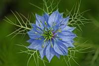Blue Star (Nigella)