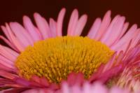 Erigeron - Sea Breeze