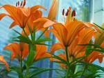 Towering Lillies Posters