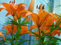 Towering Lillies
