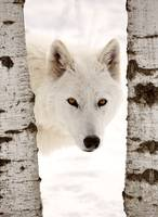 Arctic Wolf seen between two trees in winter