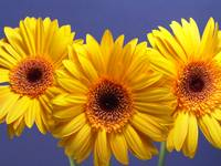 Yellow Gerbera Daisies Buddy On Blue
